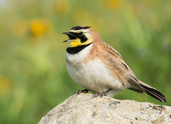 Horned Lark was singing ... (Eric SF) Tags: hornedlark lark bird missionpeak fremont california allaboutbackyardbirds cornelllabofornithology