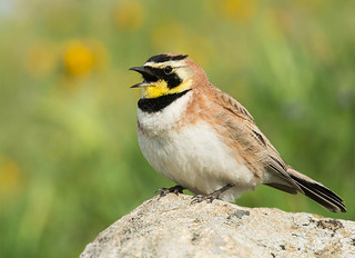 Horned Lark was singing ...