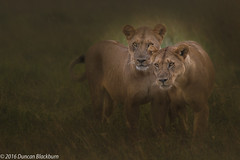 The Lions of Grumeti. (Duncan Blackburn) Tags: 2016 big5 cat serengeti tanzania lion mammal grumeti ngc