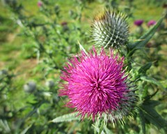 Still flowering (JulieK (finally moved to Wexford)) Tags: spearthistle cirsiumvulgare pink flower bloom plant texture macro bokeh canonixus170 nature beautiful