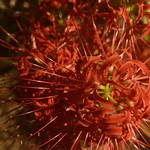 Spider Lilies thumbnail