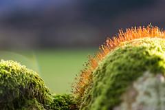 Growth (A Crowe Photography) Tags: canon canon6d canon24105f4 closeup green orange bokeh beyondbokeh growth moss