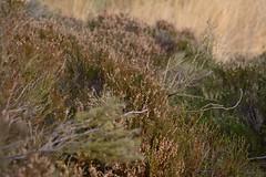 Heather (Tony Tooth) Tags: nikon d7100 nikkor 50mm f18g heather abstract moorland heath peakdistrict upperhulme staffs staffordshire