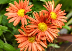 Such a pretty orange color (AngelVibePhotography) Tags: flower blossoms blossom garden daisies nature depthoffield nikon photography closeup flowers brightcolors daisy outdoor macro botanicalgarden nikonp900 orange