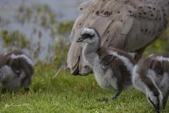 Cape Barren Gosling (R. Francis) Tags: capebarrengoose cereopsisnovaehollandiae phillipisland phillipislandnaturepark ryanfrancis ryanfrancisphotography victoria vic gosling capebarrengosling