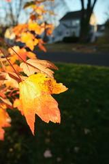 SAM_1850 (falcon170ct) Tags: autumn fall leaves redoak
