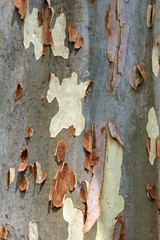 Bark (iansand) Tags: homebushbay eucalypt bark gumtree
