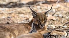 Caracal_06714 (tombomba2) Tags: 80400vrii caracal nikkor nikon objektive raubkatzen tiere animals catsofprey fullresolution lenses namibia