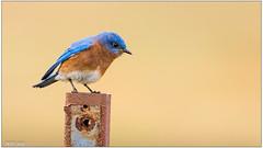 Eastern Bluebird (male) DSC_4801 (blindhogmike) Tags: ninety six national historic site sc south carolina