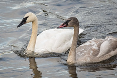 Trumpeter Swan (Cygnus buccinator) (ausmc_1) Tags: december oceanside bigqualicum vancouverisland outdoor estuary birds trumpeterswancygnusbuccinator canada 2016 britishcolumbia d800 nikkor2oo500f56vr