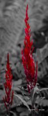 B&R_Web (Bhaumik Trivedi) Tags: bhaumiktrivedi bhaumiktrivediphotography wwwbhaumiktrivedicom ibharatiyaphotographer canont6i canon750d usa nj newjersey outdoor nature black red