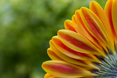 Looking from the Underside (cstreetwalker) Tags: 60mm bloom red yellow petals macro bud flower depth field gerbera daisy