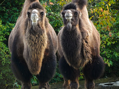 Camels (HaylesJParky) Tags: camels zoo blackpool blackpoolzoo nikon dumbanddumber