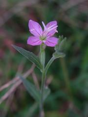(nofrills) Tags: pink plant flower green nature flora urbannature
