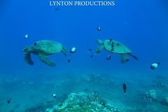 two turtles cleaning station (Aaron Lynton) Tags: canon hawaii snorkel turtle dive like diving maui snorkeling turtles honu greenseaturtle g1x