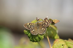 Speckled Wood Butterfly (rumyanawhitcher) Tags: summer plant macro green nature leaves butterfly insect wings natural somerset lepidoptera raspberry yeovil photocompetition speckledwoodbutterfly parargeaegeria bigbutterflycount rumyanawhitcher