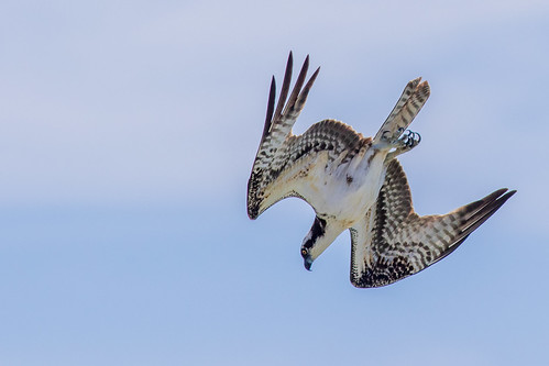 Osprey Surf Dive