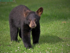 Teeny weeny spring cub... (Direwolf131) Tags: