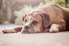Uma excelente modelo... (Vinicius_Ldna) Tags: brazil dog pet love canon 50mm sweet naturallight care caress londrina 10158 luznatural