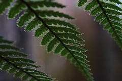 Botanica, Whangarei (4) (herbal tree) Tags: new travel winter fern june island north zealand backpacker 2015