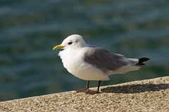 Kittiwake (jon lees - finally Sky have delivered) Tags: county clare gulls rissa kittiwake laridae tridactyla carrigaholt