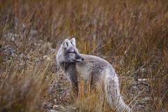 SIlver fox (explored) (Dan King Alaskan Photography) Tags: autumn fall beautiful alaska fox deadhorse northslope silverfox arcticfox prudhoebay canon50d sigma150500mm