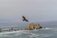 Portada de Antofagasta, Región de Atacama, Chile (Agustín Ignacio Nicolás Vera Valle-Lugine) Tags: chile sea naturaleza america libertad mar natural paisaje pajaro norte oceano antofagasta oceanopacifico tiuque paisajesdechile terceraregion