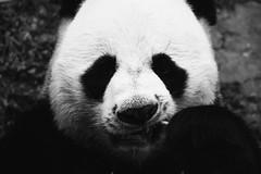 IMG_7170Bx (kanizfotolio) Tags: blackandwhite closeup canon lens thailand eos zoo panda north eat angry kits bite mad dslr northern chaingmai 400d