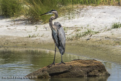 DI_GreatBlueHeron_2171 (pauldovie@mediacombb.net) Tags: usa alabama theodore