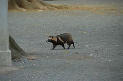 DSC_1514 (My many travels) Tags: japan tokyo shrine shibuya tanuki   raccoon  shinto meiji jingu