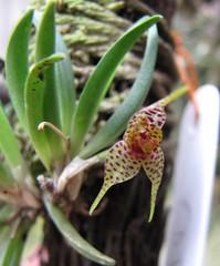 Dryadella lilliputiana affinis var. CJ/SP (Micro-orquídeas Roberto Martins) Tags: de galeria mini micro orquídeas var venda exposição pleurothallis coleção affinis dryadella permuta orquidáceas cjsp microorquídeas lilliputiana robertomicroorquideas robertomicros robertoorquideas