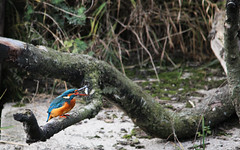 Kingfisher (Cathal Phelan) Tags: fish bird nature martin feeding eating kingfisher mere