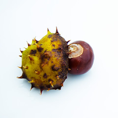 Chestnut under cover (Dinohyus) Tags: autumn brown nikon shell stilleben chestnut nut minimalism höst brun horsechestnut skal kastanj hästkastanj nöt taggig d7000 dinohyus fotosondag fs151101