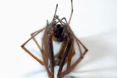Miserable MonTeg(a) (Procrustes2007) Tags: uk england spider suffolk britain wildlife arachnid flash nikond50 sudbury housespider closeuplens extensiontubes wildlifephotography nikkor50mmais eratigenaatrica afsnikkor1855eddx d50deadteg