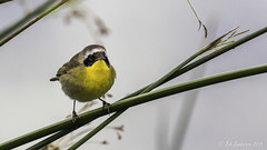 Common Yellowthroat (Bob Gunderson) Tags: sanfrancisco california birds northerncalifornia boathouse lakemerced warblers commonyellowthroat geothlypistrichas woodwarblers canoneos7dmarkii