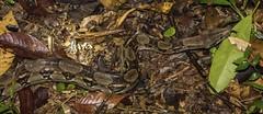 Young Boa Constrictor (Odonata457) Tags: bonito honduras lodge boa pico constrictor atlántida atlã¡ntida