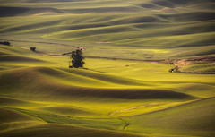 A Lone Tree In The Palouse (NW Vagabond) Tags: tree landscape washington spring state hills fields rolling palouse 2015