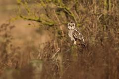 Short-eared owl (Andy Davis Photography) Tags: canon eyes raptor owl perched shortearedowl asioflammeus