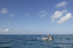 WildQuest Dolphin Retreat - 30/2015 (Wildquest Bimini) Tags: wild swim underwater dolphin spotted bimini dolphinswim swimmingwithdolphin wildquest atlanticspotted swimwithdolphin atmoji