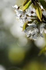 (Px4u by Team Cu29) Tags: bokeh baum kirsche kirschblüte obstbaum unschärfe rosengewächs