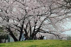 Daishi Park Hanami (Toni Kaarttinen) Tags: japan  japonia    jap japonsko jaapan  japani japon xapn    japn jepang an tseapin giappone  japna japonija  japo  japonska japn hapon  japonya nht bn japanese kawasaki spring daishi park daishipark hanami sakura cherry cherryblossom cherryblossoms
