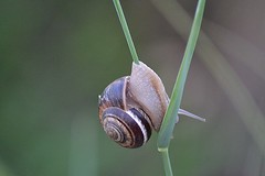 Lumaca (Mannivu) Tags: lumaca snail animal animals animale animali nature natura closeu