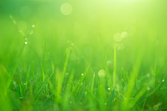 Green Grass Field Bathing in Morning Sunlight (danliecheng) Tags: artistic atmosphere background blades dew dewdrops dots dreamy field fresh gardening glowing grass grassfield light meadow mood morning nature shining smooth soft spots sunlight tranquility waterdrops
