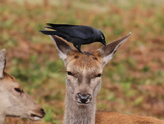 Red Deer Doe Cervus elaphus Jackdaw 007-1 (cwoodend..........Thanks) Tags: 2016 bradgatepark bradgatepark2016 leicestershire deer reddeer doe reddeerdoe cervuselaphus jackdaw