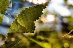 Multiple Nature 344 (pni) Tags: leaf vein dof blur focus multiexposure multipleexposure tripleexposure tlnlahti tlviken helsinki helsingfors finland suomi pekkanikrus skrubu pni