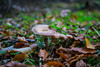 Eaten Mushroom (jtatodd) Tags: autum bokeh bokehilicious change closeup forest fullframe fungi golden ilce7 ireland landscape leaves macro mirrorlesscamera mushroom natural nature northernireland october park sony sonyfe2870mmf3556oss sonya7 tollymore tollymoreforestpark trees woods 10faves 20faves