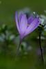 Crocus d'automne. (jpto_55) Tags: crocus fleur macro bokeh xe1 fuji fujifilm omlens om85mmf2 pyrénées france hautegaronne