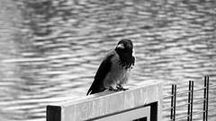 3461 Black eye (Nebojsa Mladjenovic) Tags: mladjenovic canon bw blackandwhite bird animal