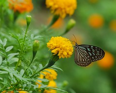 Blue Glassy Tiger in Marigold Field (Robert-Ang) Tags: butterfly insect blueglassytiger marigold chinesegarden singapore wildlife nature