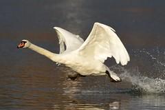 See you later! (matthiashinken) Tags: elements schwan swan vgel nikon d500